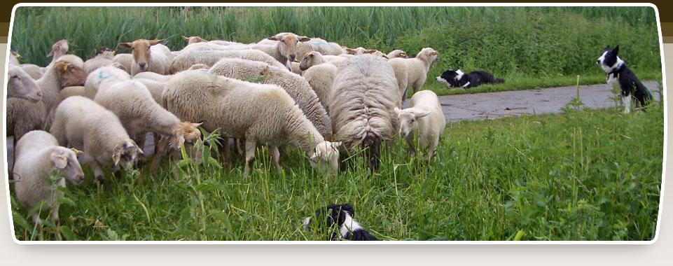hond achter schapen aan